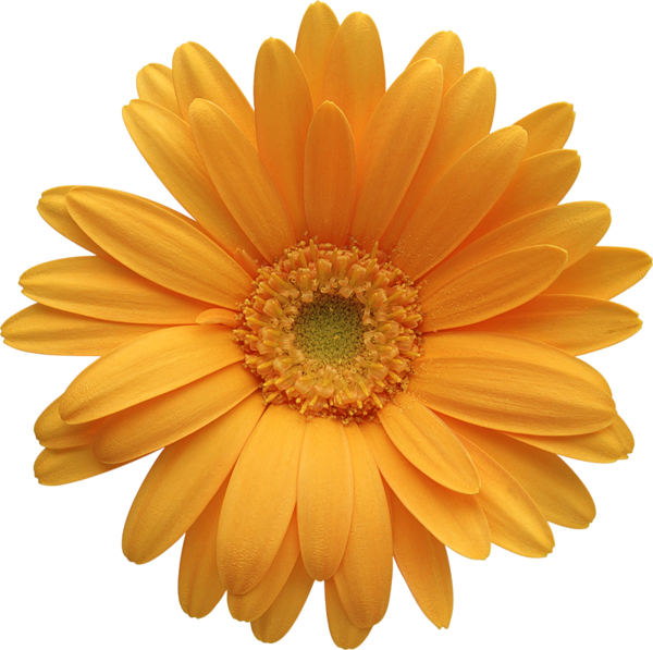 March yellow daisy
