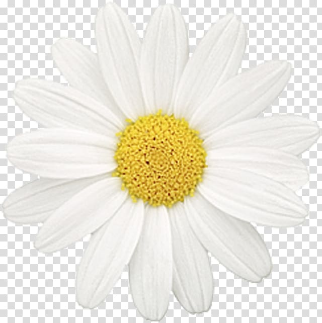 Common daisy oxeye family. Daisies clipart chamomile flower