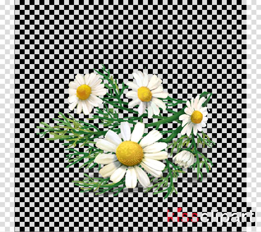 Daisies clipart chamomile flower. Floral background tea daisy