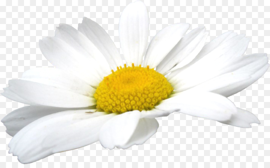 Daisies clipart chamomile flower. Download free png german