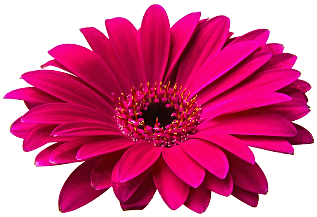 Daisy flower png. Pink gerbera clipart clip