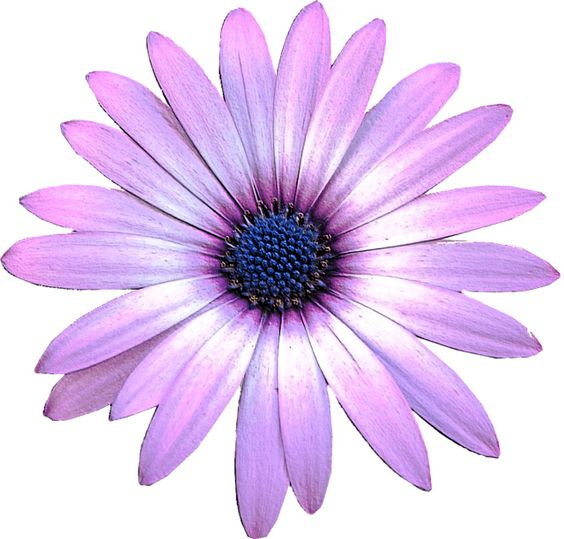 Daisies clipart color. Daisy purple pencil and
