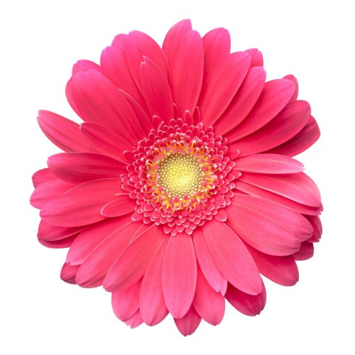 Red flower colorful daisy. Daisies clipart color