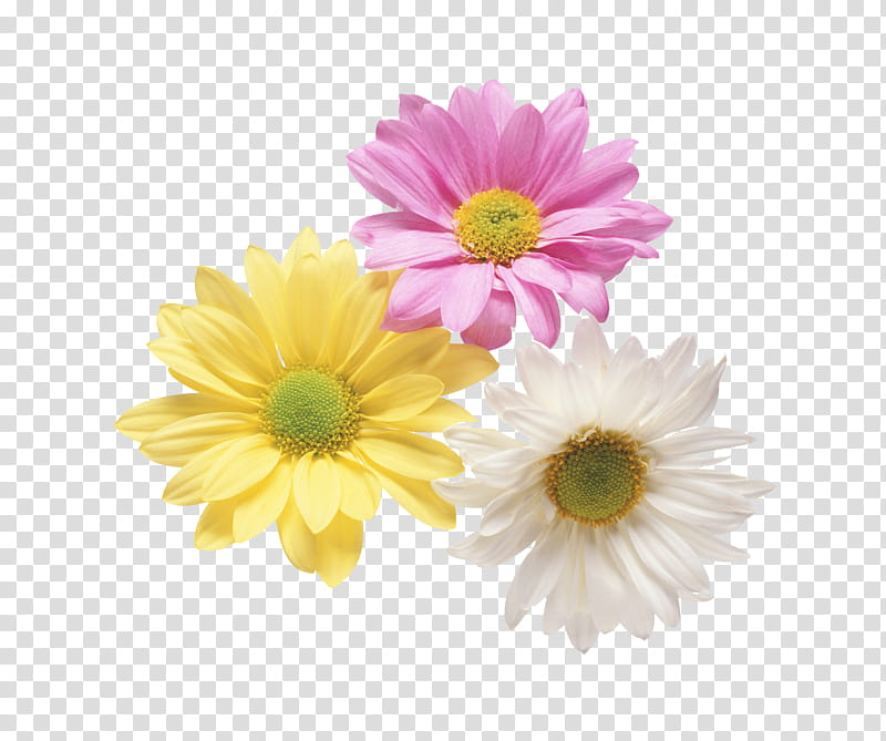 Daisies clipart color. Flowers three assorted transparent