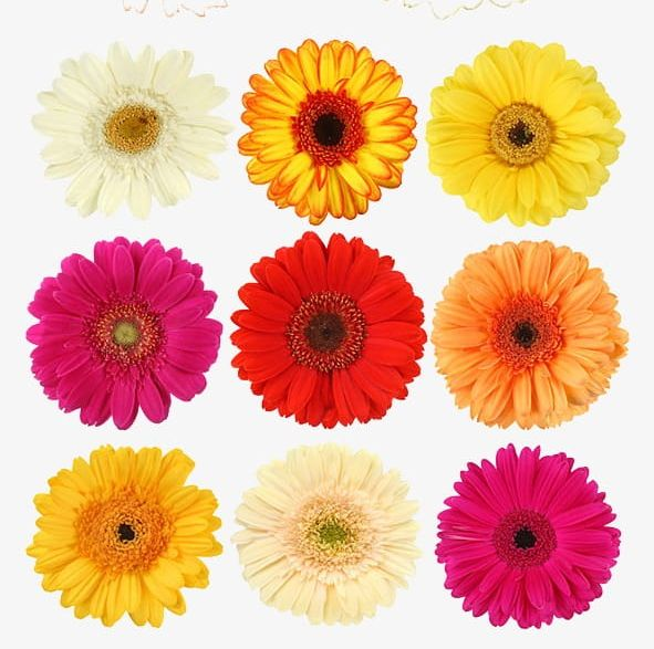 Daisy png colored . Daisies clipart color