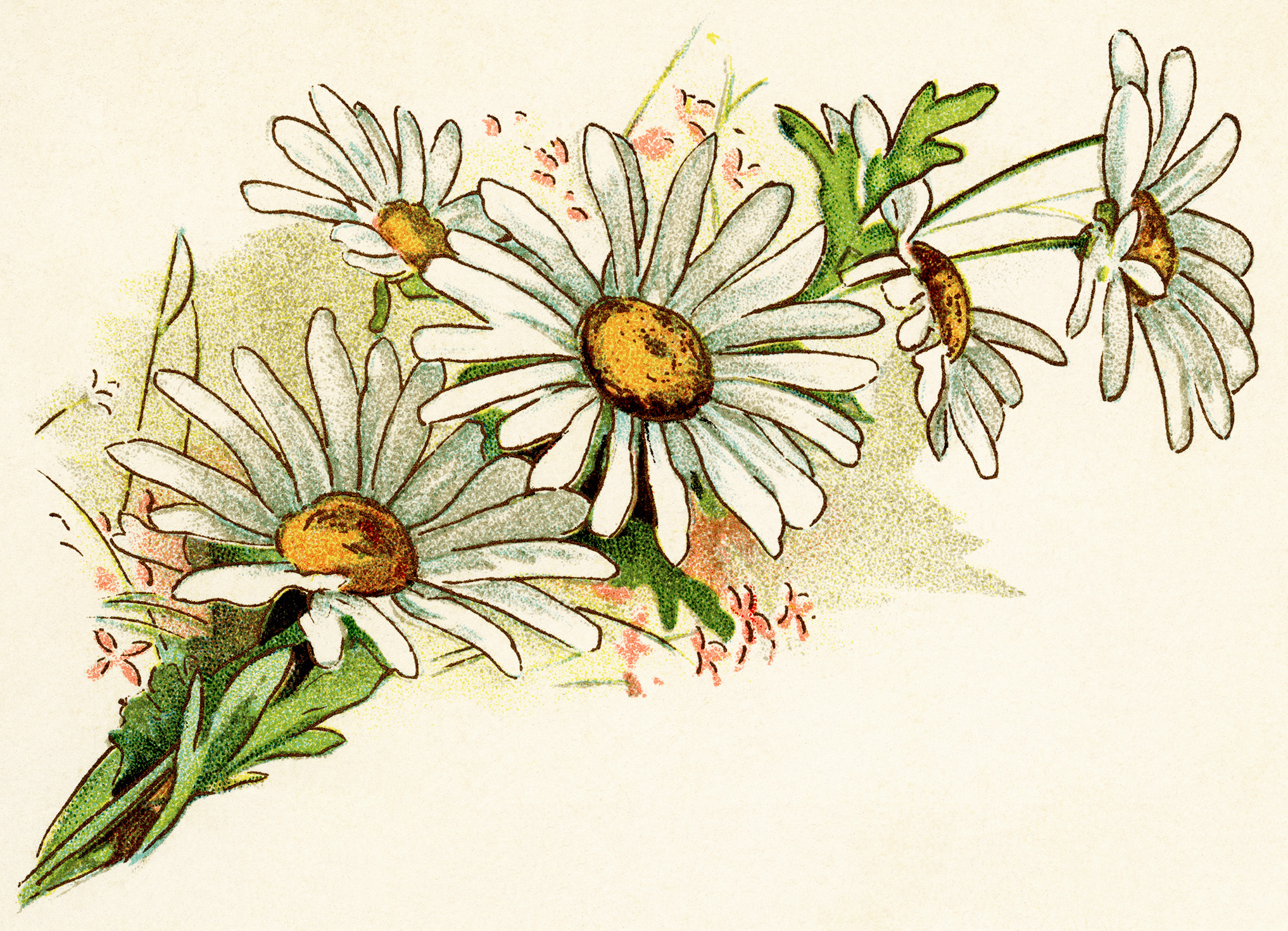Free vintage image cluster. Daisies clipart daisey