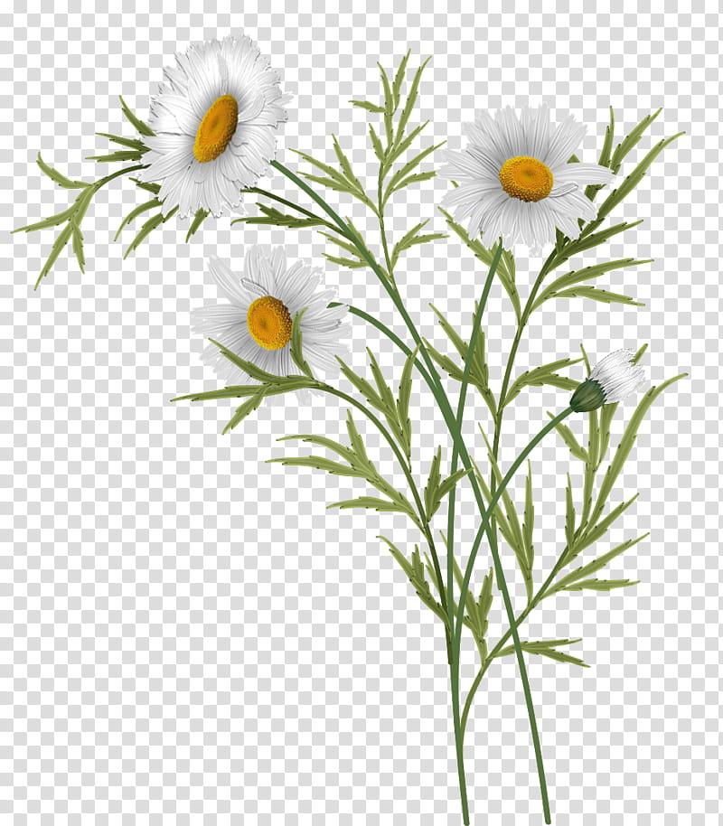 Daisies clipart daisey. White daisy flowers illustration
