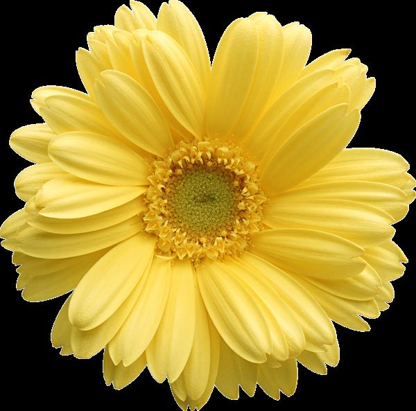 Arquivo de almo o. Daisy flower png