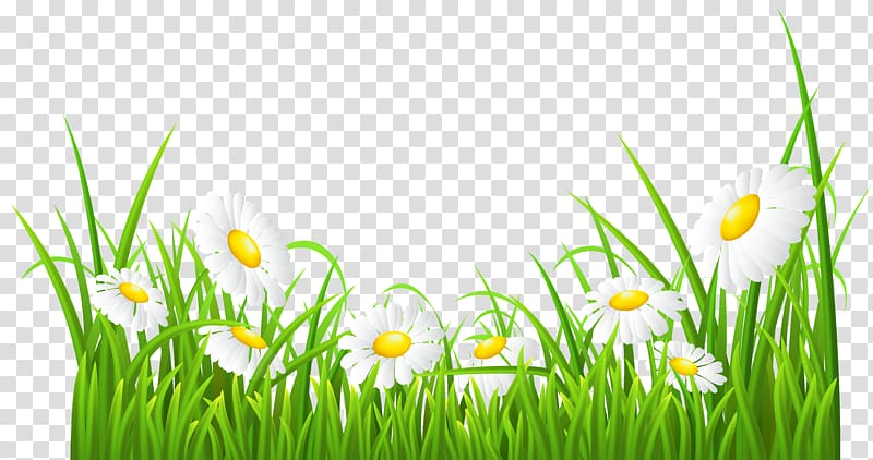 Daisy clipart wheat grass. White flowers illustration common
