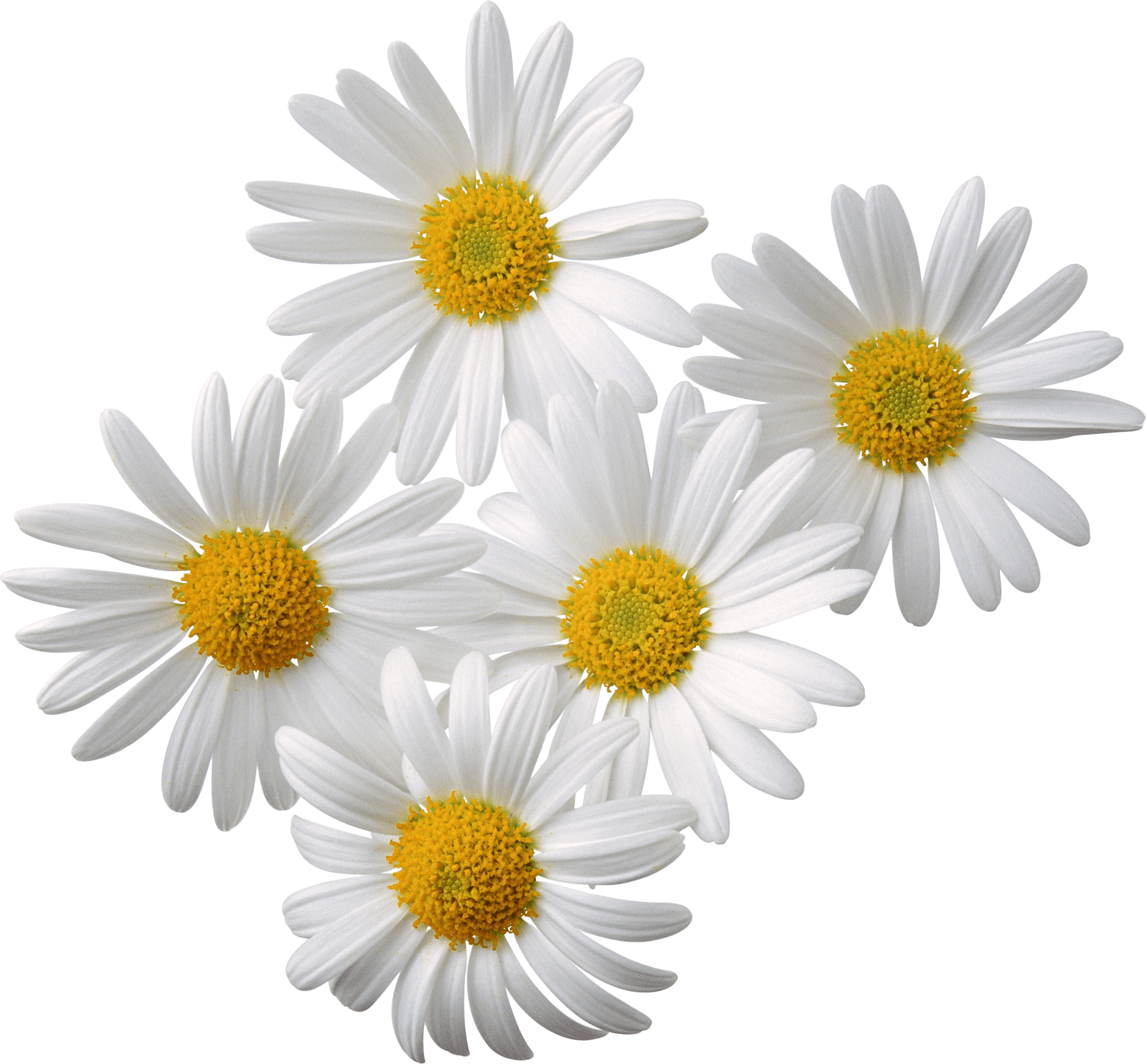Daisy flower png. Flowers white yellow transparent