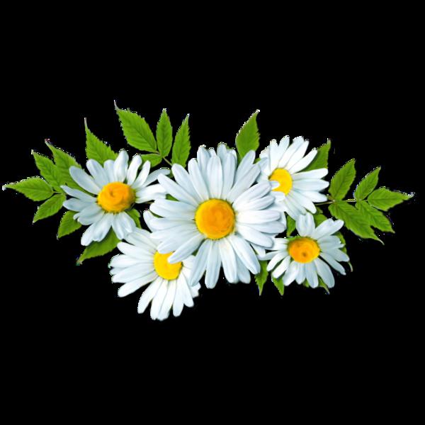 Fleurs flowers bloemen png. Daisies clipart flores