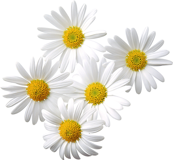 Daisy bouquet pencil and. Daisies clipart flower day