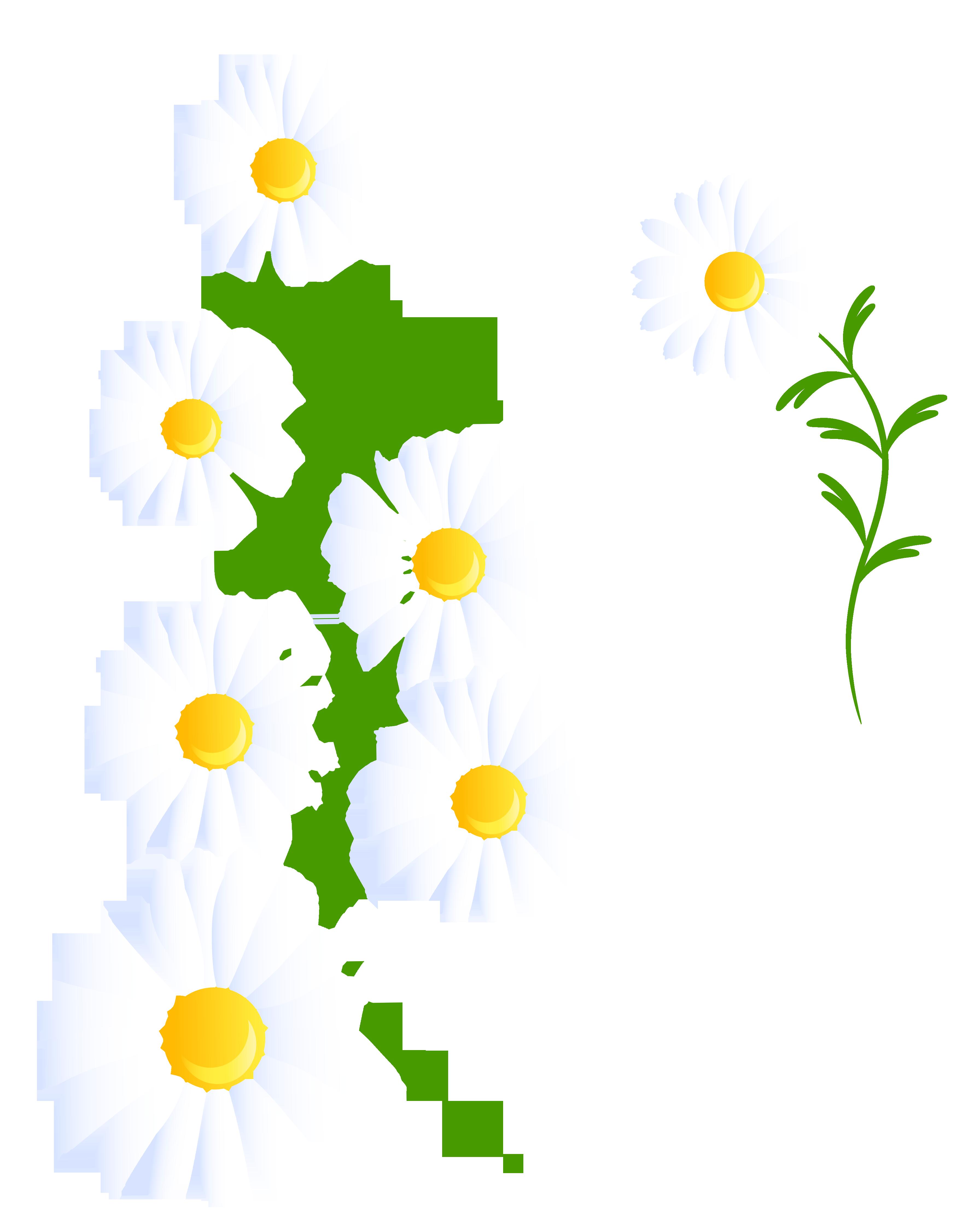 Transparent white daisies decoration. Daisy clipart daisie