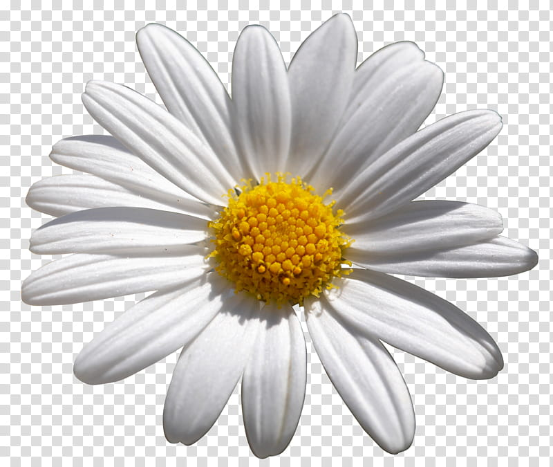 Unrestricted flower white and. Daisies clipart flowering bush