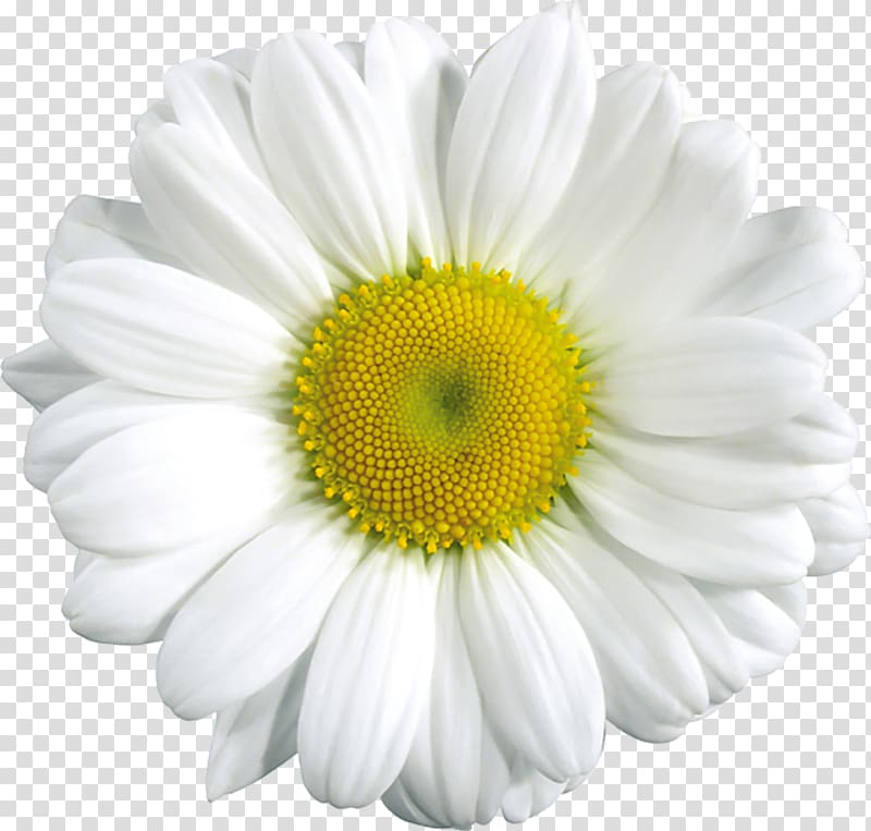 White daisy flower common. Daisies clipart flowering plant
