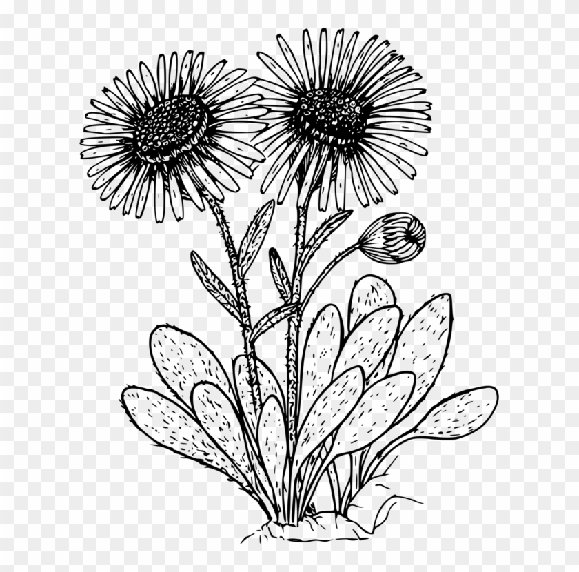 Daisies clipart flowering plant. Wild flower black and