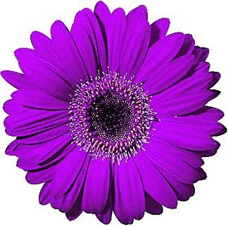 Free gerbera cliparts download. Daisies clipart gerber daisy