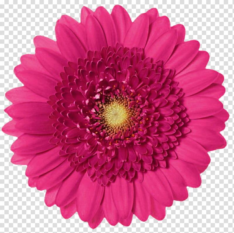 Classic pink gerbera transparent. Daisies clipart gerber daisy