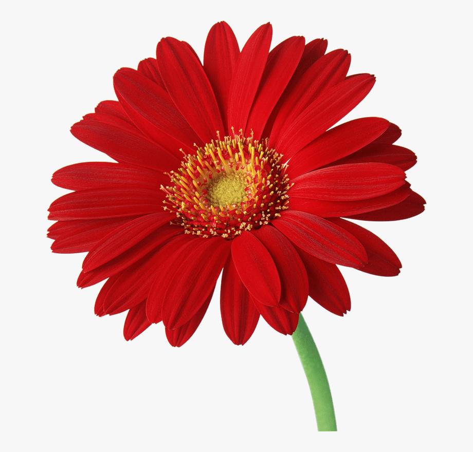 Gerbera transparent red . Daisies clipart gerber daisy