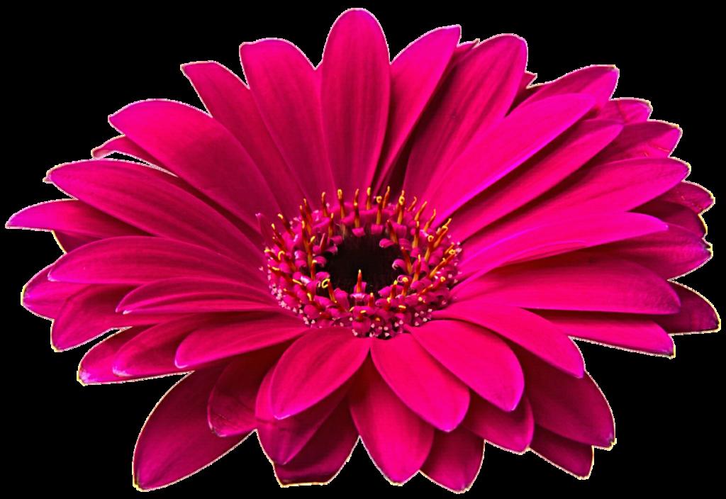Gerbera png hd mart. Daisies clipart gerber daisy