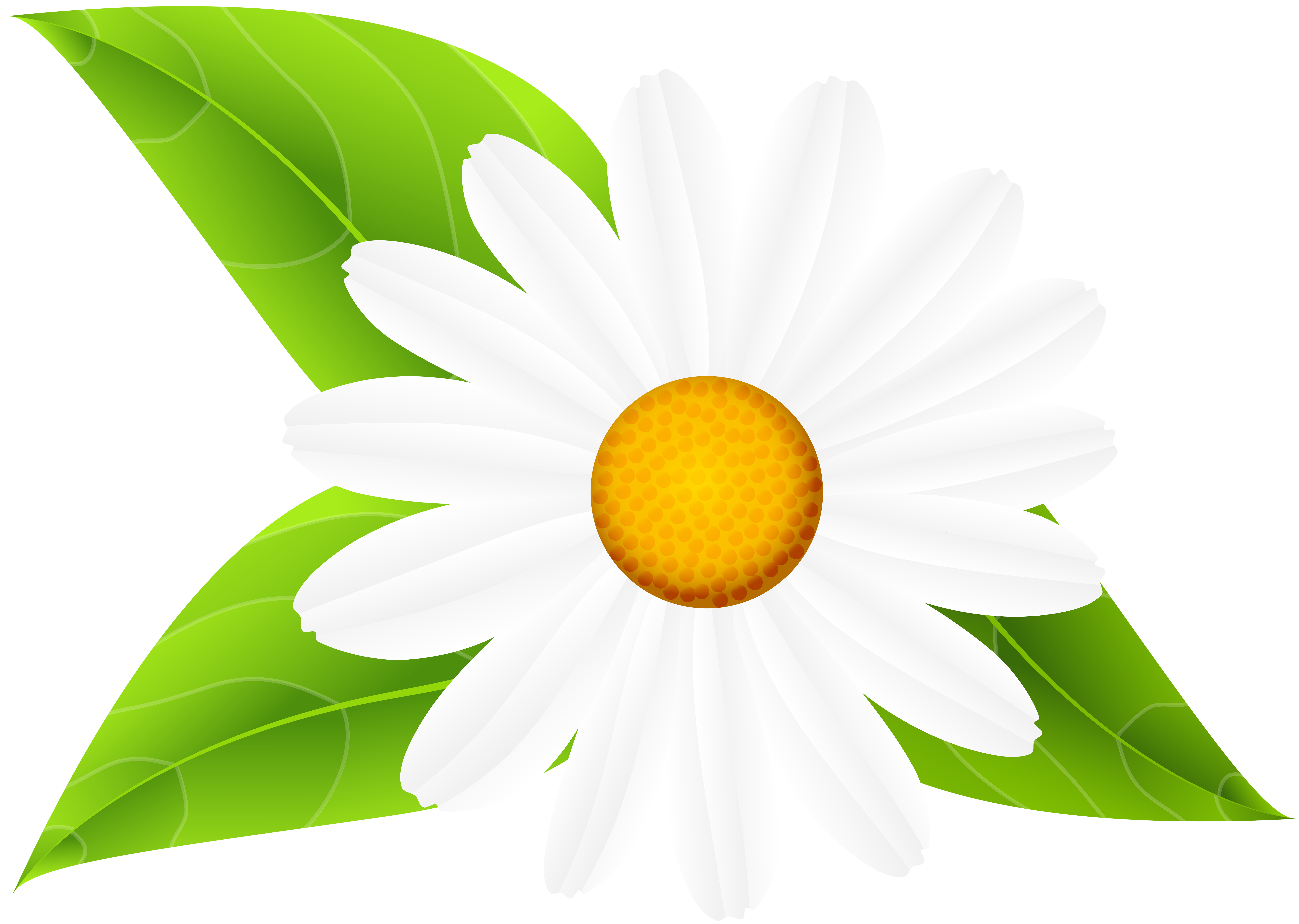 Daisy clipart daisy leaves. With transparent clip art