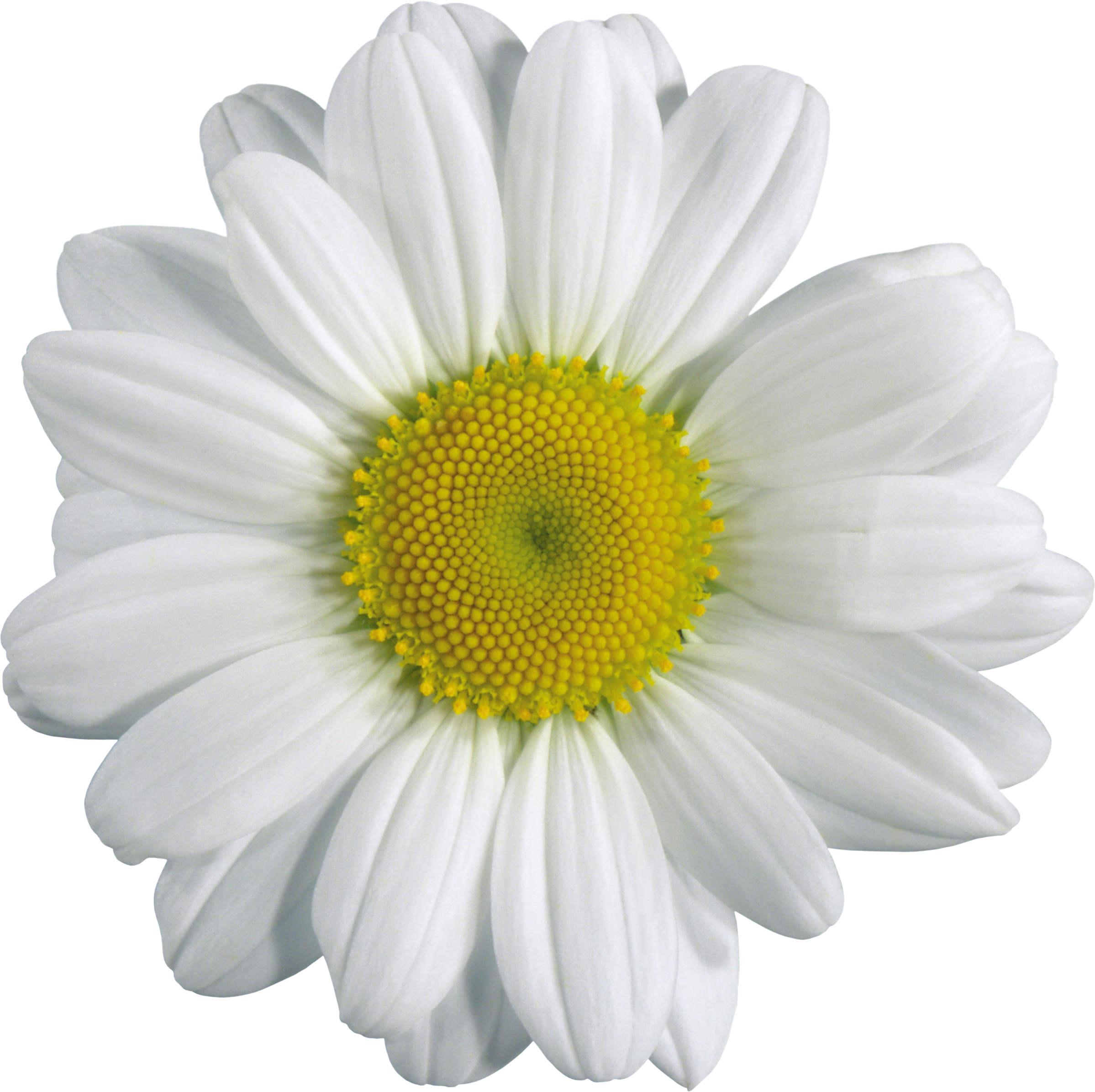 White flower png. Single transparent images pluspng
