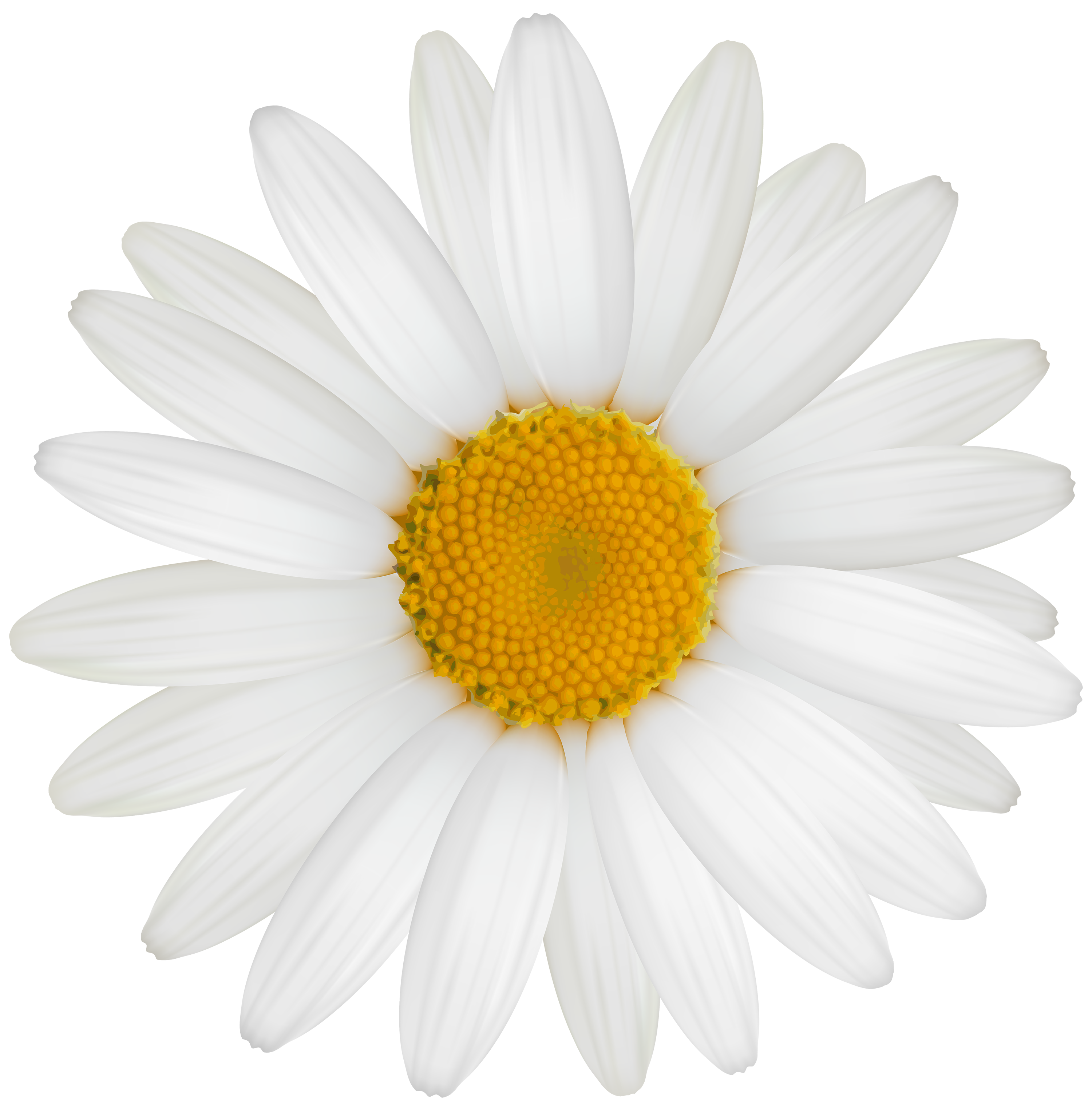 Daisy flower png. White clipart best web