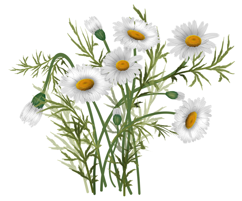 Vector flowers png. Daisies pinterest and flower