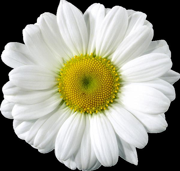 garland clipart daisy chain