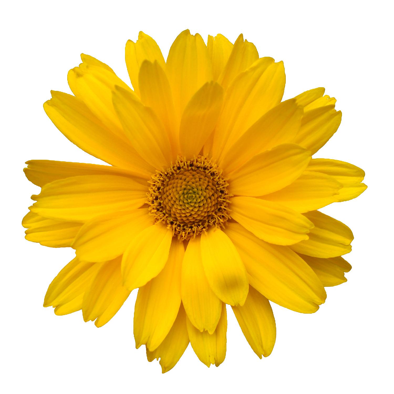 Common daisy transvaal free. Daisies clipart orange