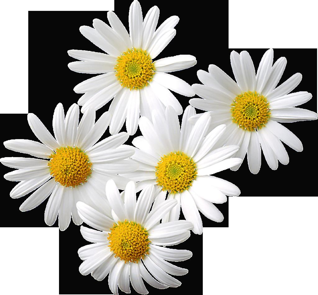 Daisies clipart orange. Transparent flowers daisy love