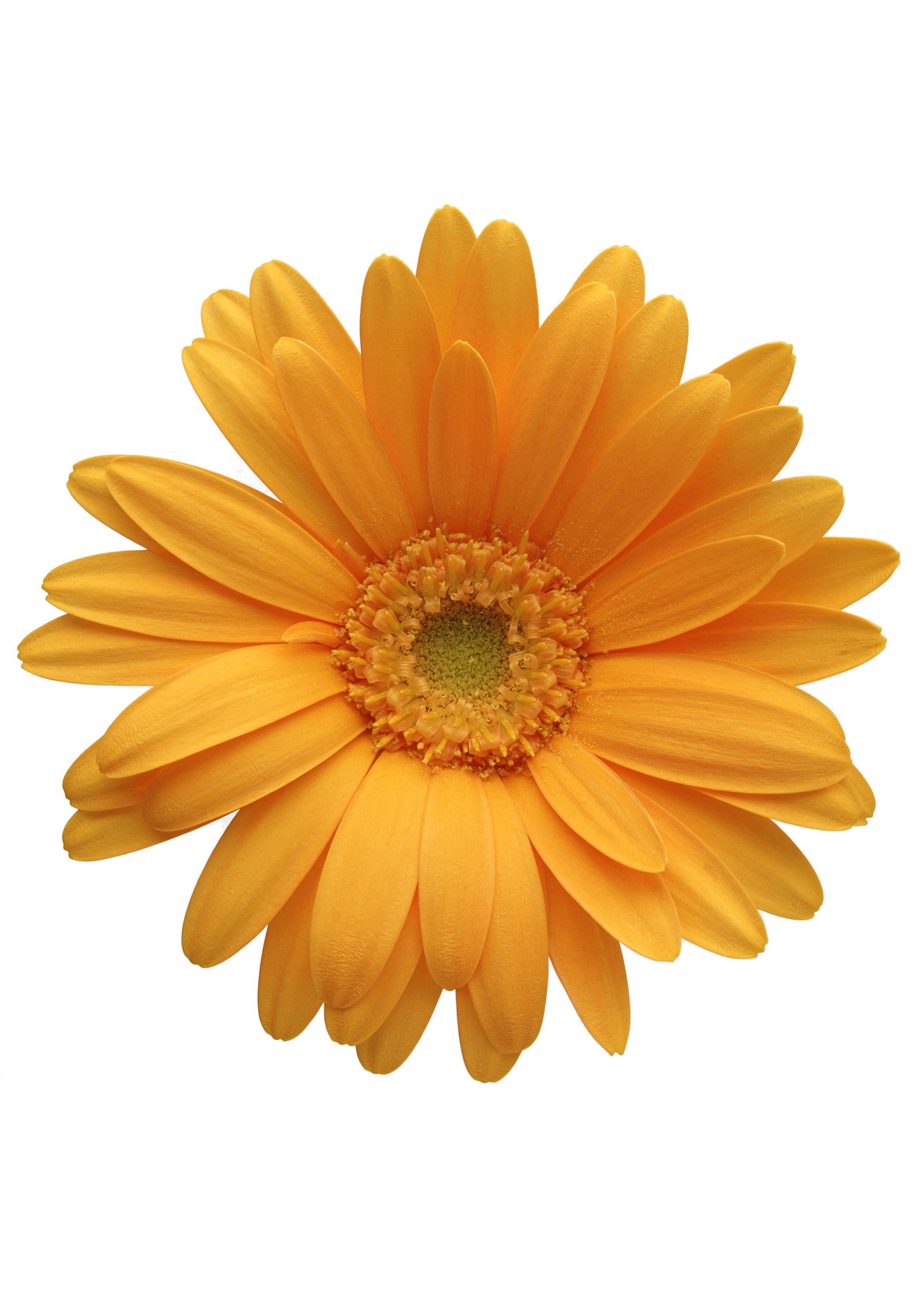 Daisy clipart nature transparent. Flower orange transvaal clip