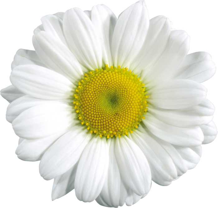 White camomile isolated stock. Daisy clipart six flower