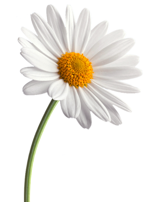 Daisy flower png. Mod the sims daisies