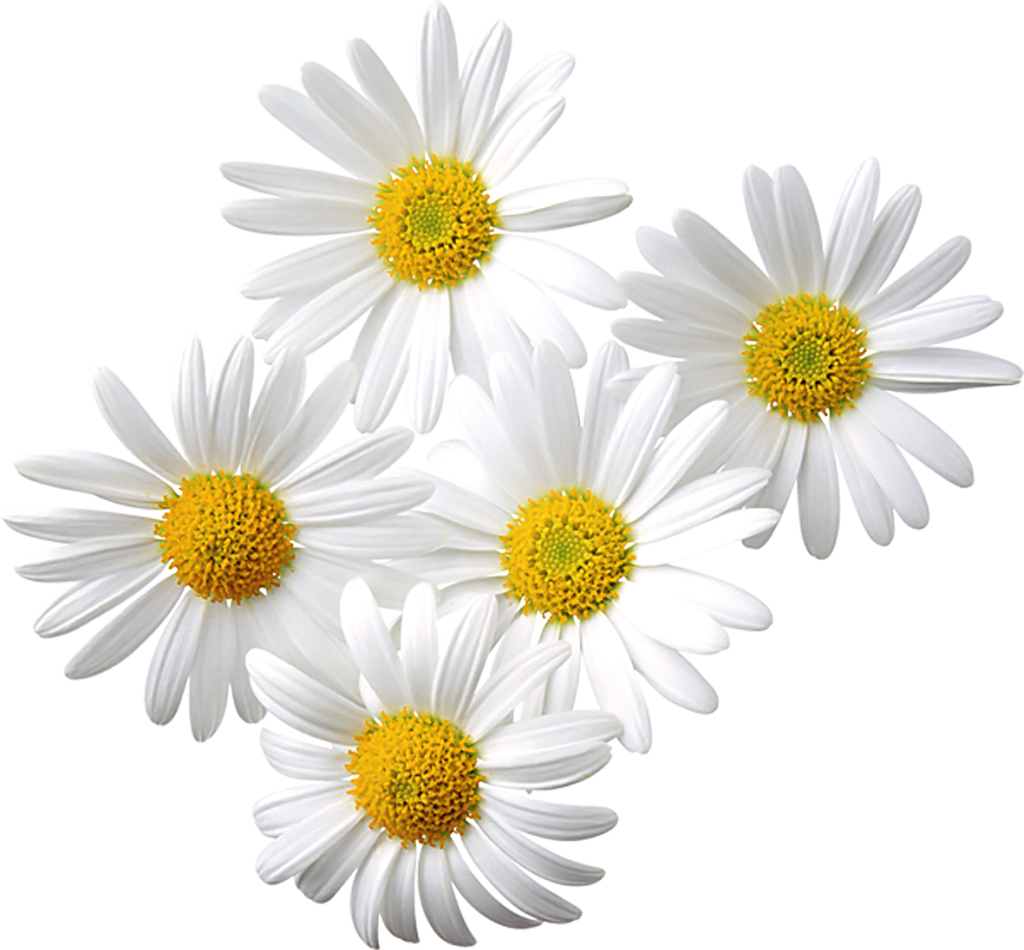 collection of transparent. Daisy clipart daisie