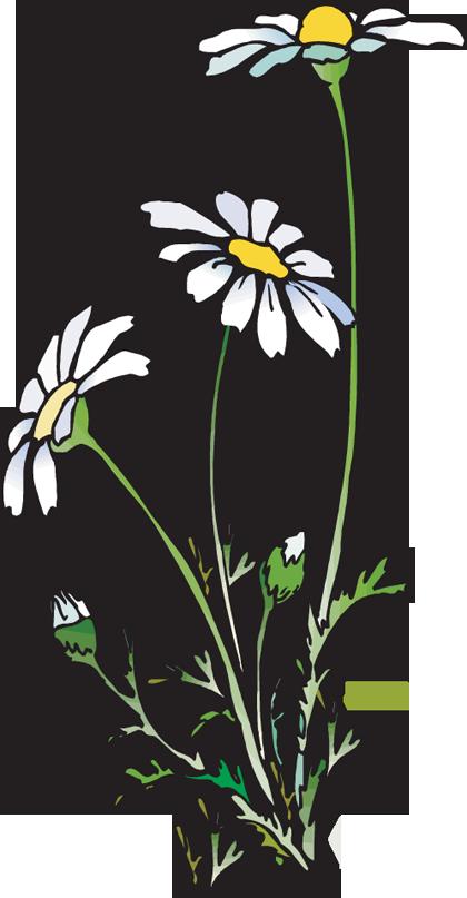 daisies huge freebie. Daisy clipart daisie