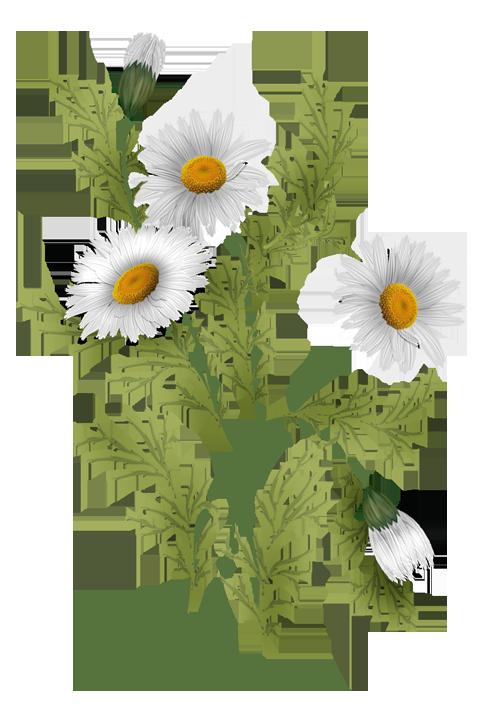 Vector flowers png. Daisies pinterest