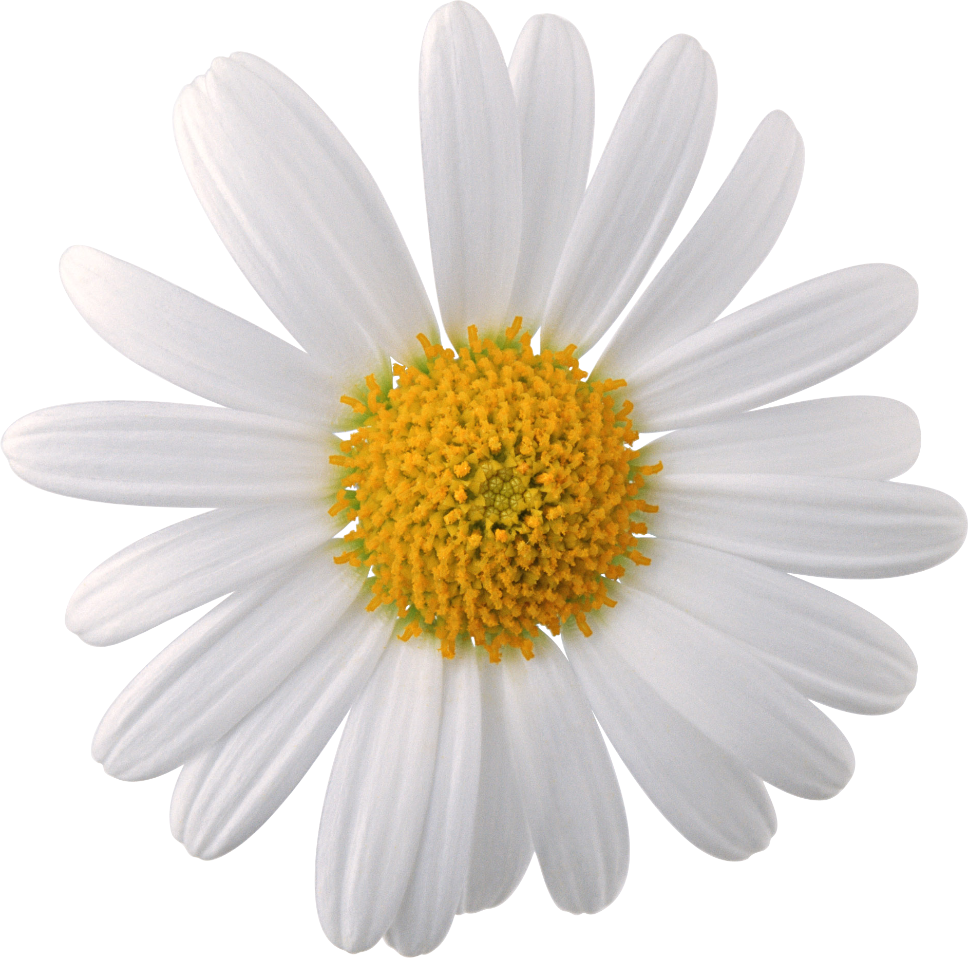Camomile image free picture. Daisy flower png