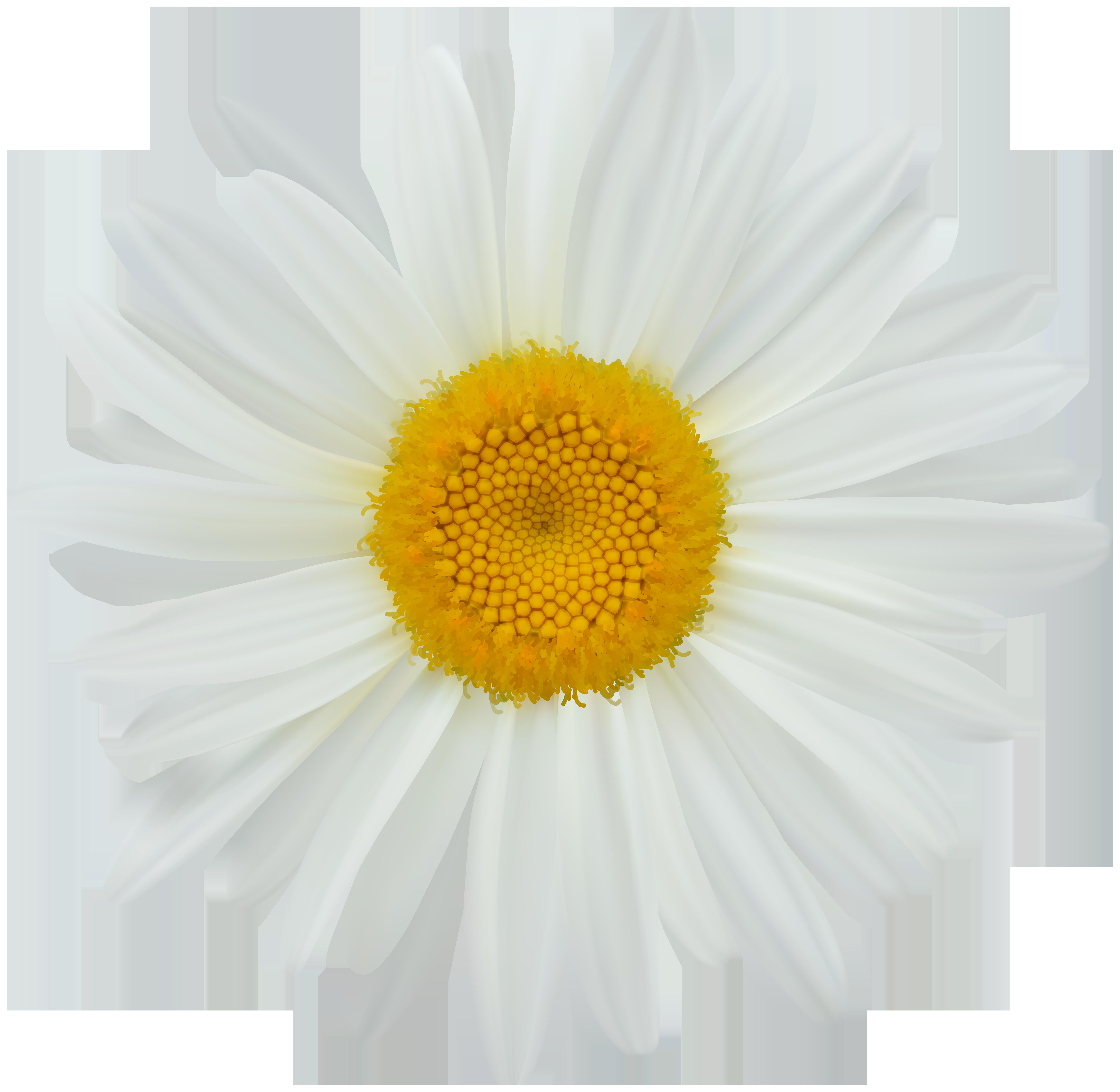 Daisy clip art png. Daisies clipart summer