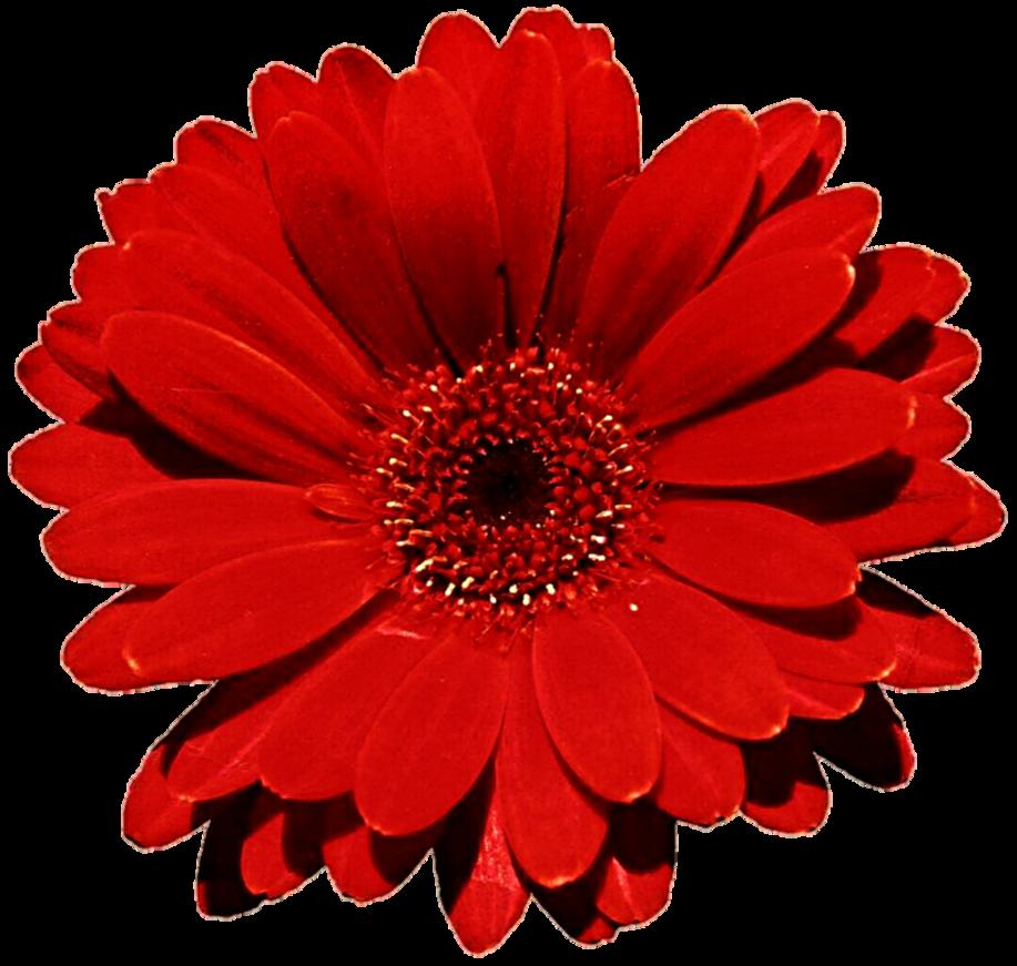 Mayflower clipart gerbera flower. Gerber daisy free download