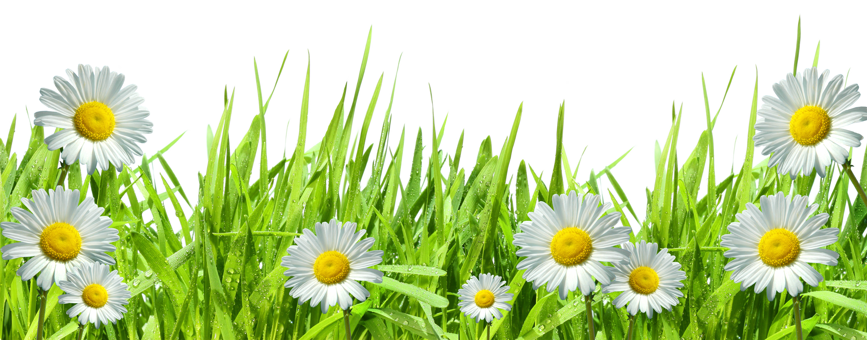 Daisies clipart transparent background. Large grass with dew