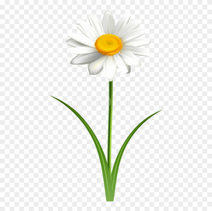 Free png download daisy. Daisies clipart transparent background