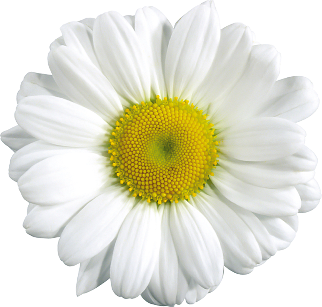 Large daisy gallery yopriceville. Daisies clipart transparent background
