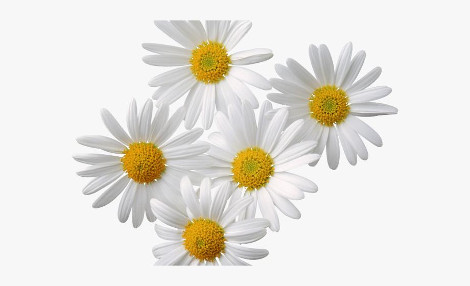 Daisies clipart transparent background. Daisy shasta