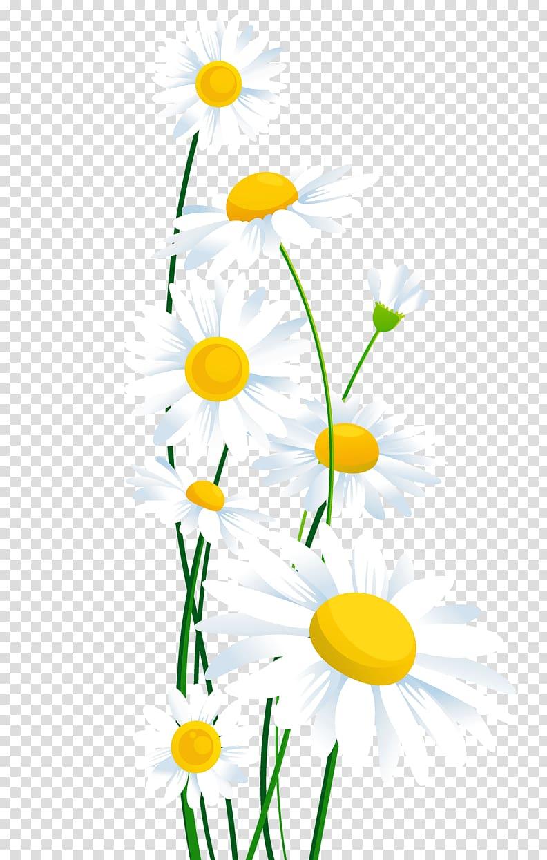 White illustration common daisy. Daisies clipart vine