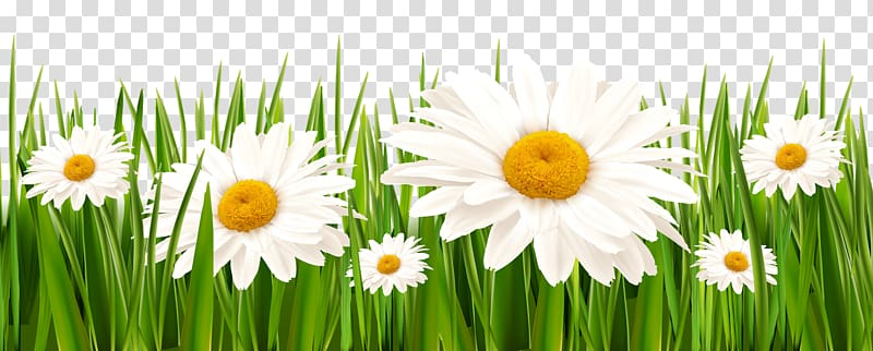 Daisy clipart wheat grass. White daisies illustration flower