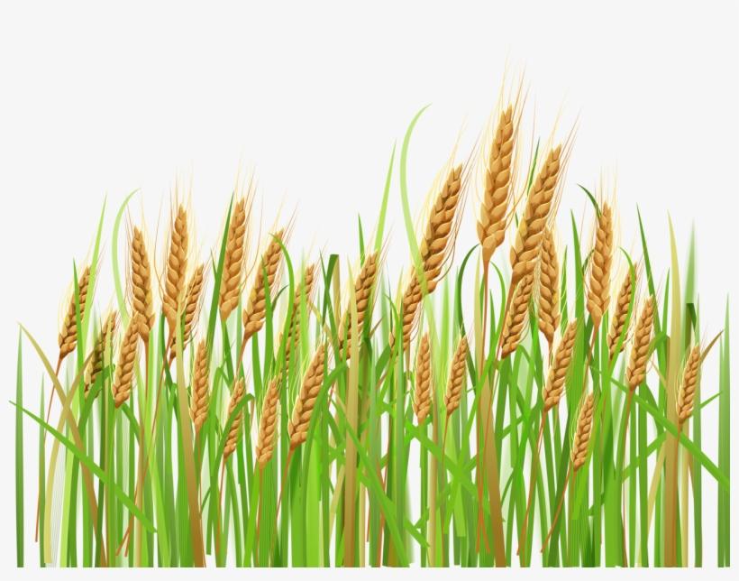 Free transparent . Daisy clipart wheat grass