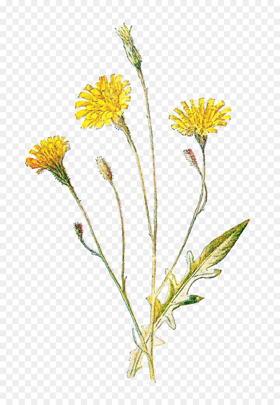 Golden flower transparent clip. Daisy clipart wildflower