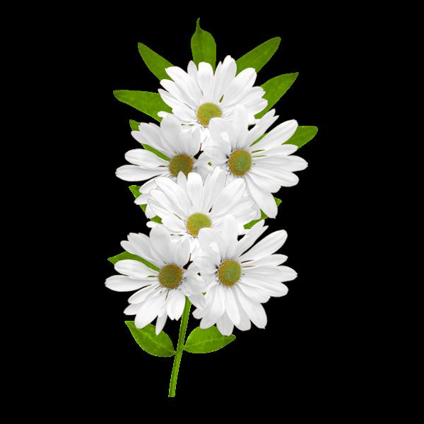 Daisy clipart wildflower. White daisies gallery yopriceville