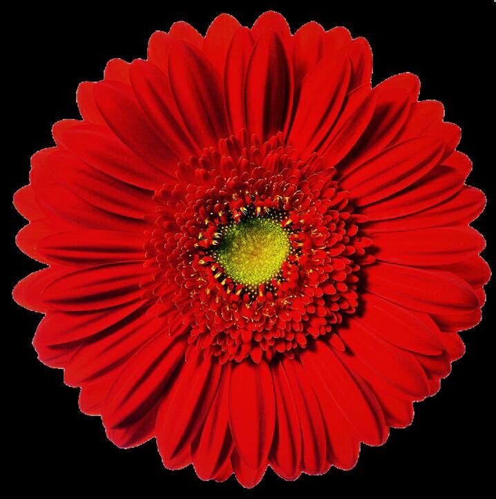 Daisy clipart bright flower. Red gerbera by jeanicebartzen